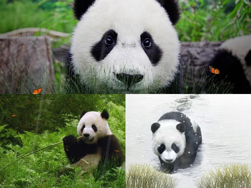 Cute Panda Animated Wallpaper