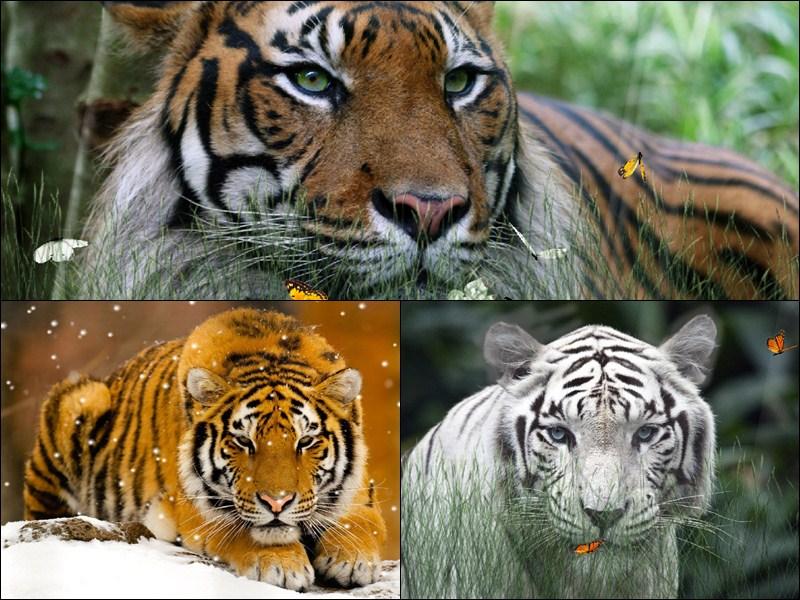 Wild Tigers Animated Wallpaper full screenshot