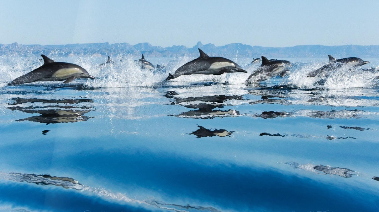 Happy Dolphins Animated Wallpaper Desktopanimated Com